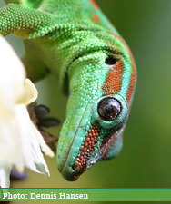 Phelsuma-cepediana